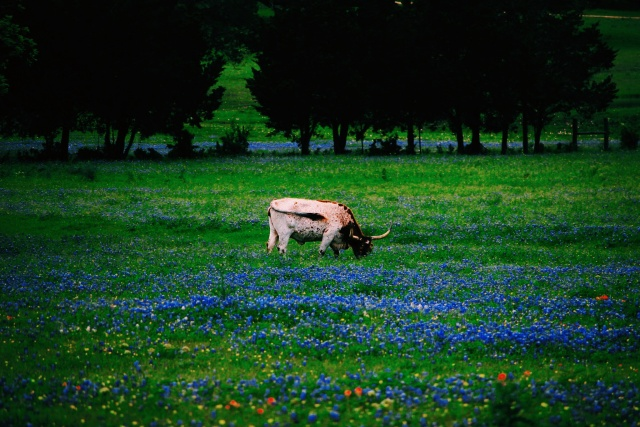 Land of Bluebonnets