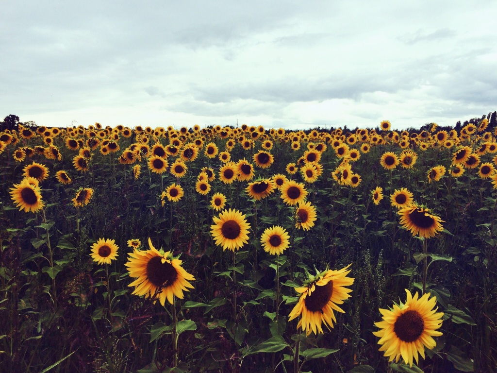 VSCO - Sunflower field in the south of France  #travelphotography